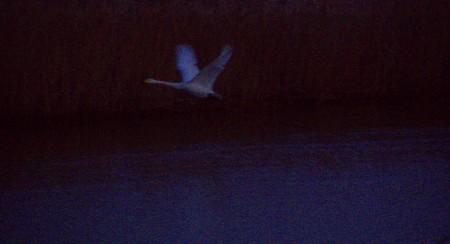 Swan Rising