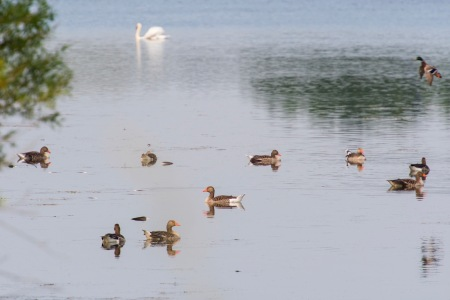 Bean geese, a mallard and a swan form a tableau.